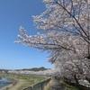 兵庫県三田市)武庫川さくら回廊、波田橋枝垂れ桜園。満開、見ごろ。