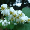 ウツギ 又の名を卯の花