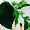 【エアコンと観葉植物】葉枯れの手当て
