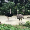 Singapore Zooの見所はミーアキャット様だわ