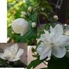 「ウメ(梅)/ バイカ(梅花)」が名前に組み込まれた植物---調べてみたところ,今日のところは14種見つかりました!その内7種の画像を集めてみました.どれも美しい花たち.実際に見たことのある花は,このうち3種しかありません.いつの日か,あとの4種に出会うのが楽しみです.