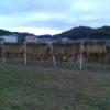 2回目の稲刈りと天日干しができました。暗くなる前に終わった…