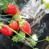 あまいイチゴ狩りで春を満喫🍓 君津市の「高橋いちご園」さんへお邪魔してきました