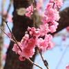 桃の花が見頃!古河桃まつり(^-^)