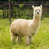 アルパカの特徴:web動物図鑑