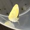 【小学3年生の理科】モンシロチョウを卵から育てる【卵・幼虫・蛹・成虫までを観察】