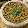 クリスタルプランツとも呼ばれる宝石のような多肉植物!【ハオルチア】の神秘的な輝き!