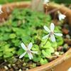 オリヅルスミレ、Viola stoloniflora マンジュリカ、Viola mandshurica