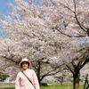 人のいない満開の桜