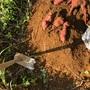 野菜づくり二年生 56 〜さつまいも試し掘り!