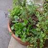 ハーブの寄せ植え鉢そして7月のラヴェンダークラフト