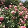 バラ栽培講座(3) えひめAIの作り方と効果と活用