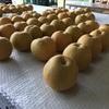 9月15日(梨収穫)