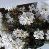 購入後85日目も開花し続けるイベリス20190217