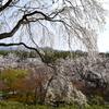 四季折々の植物が楽しめる嵐山天龍寺。春の枝垂れ桜は絵にもかけない美しさです。(Kyoto,Arashiyama,Tenryuji)