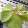 茶色斑点の葉は、雨が原因