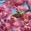 🌸東京品川 荏原神社 寒緋桜が満開です🌸