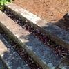 ポリゴナムの階段