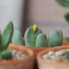 コノフィツムの花芽急成長