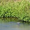 クサシギ  田んぼの用水路の中が好き
