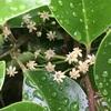 クロガネモチの花