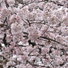 【一眼レフ】桜の時期にボケを学ぶ