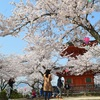 宮島穴場スポットお花見裏道さんぽ 桜満開