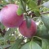 庭植えの果樹 収穫したスモモで。。。