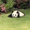 【赤ちゃんパンダ】に出会って、癒されました【アドベンチャーワールド】