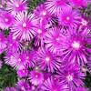 安定の開花!赤紫色の閃光を放つようなマツバギクパイセン満開!