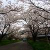 鰐鳴八番宮の桜トンネル