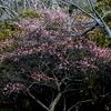 手賀沼公園の紅梅・白梅そしてウグイス