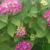 私の盛岡紫陽花10選と繊細で優しい友達