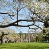 笹流ダムの桜は…