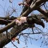 344   鳥のなる木は桜満開