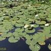 大野池、睡蓮の花