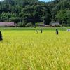 稲の検査とイノシシ対策