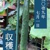 【プランター菜園収穫】キュウリが実りました!