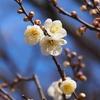高岡古城公園の梅とおうちなべ祭り♪