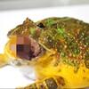 【グ○注意】カエルさん……肉食だね……