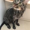 【猫のお風呂】マロンをお風呂に入れました