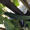 きゅうり初収穫の巻