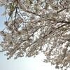江戸娯楽文化 飛鳥山は将軍吉宗によって桜の名所に