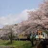 日本 木知原の桜と樽見鉄道
