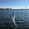 泉佐野食品コンビナートでのサビキ釣りで20㎝以上のサバが大量に釣れる。