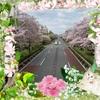 歩道橋からの桜ビュー!!!春のうさんぽコース♪笑