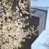 今日は美瑛町の桜まつりです