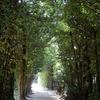 沖縄)エメラルドビーチと備瀬のフクギ並木道