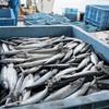 2017年6月13日 小浜漁港 お魚情報