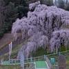 【三春の滝桜・紅枝垂地蔵桜】。花番付東西横綱を巡る!福島桜旅part2